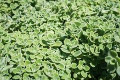 Στενός επάνω πράσινων εγκαταστάσεων amboinicus Plectranthus Στοκ φωτογραφίες με δικαίωμα ελεύθερης χρήσης