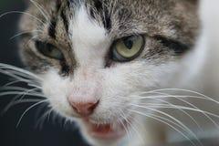 Στενός επάνω προσώπου γατών στοκ εικόνα με δικαίωμα ελεύθερης χρήσης