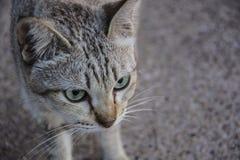 Στενός επάνω προσώπου πορτρέτου γατών Στοκ Εικόνες