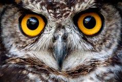 Στενός επάνω προσώπου πουλιών κουκουβαγιών Στοκ Φωτογραφία