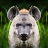 Στενός επάνω προσώπου Hyena Στοκ Φωτογραφία