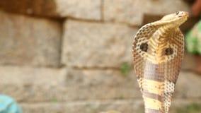 Στενός επάνω πυροβολισμός cobra φιδιών φιλμ μικρού μήκους