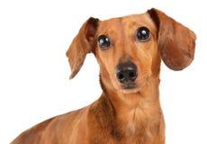 Στενός επάνω σκυλιών Dachshund Στοκ Εικόνες