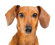 Στενός επάνω σκυλιών Dachshund Στοκ Φωτογραφίες