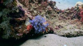 Στενός επάνω υποβρύχιος ακτινίου Anemone στα μεγάλα θαλάσσια βάθη της φύσης Φιλιππίνες απόθεμα βίντεο