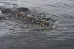 Στενός επάνω φαλαινών Humpback Στοκ εικόνες με δικαίωμα ελεύθερης χρήσης