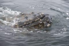 Στενός επάνω φαλαινών Humpback Στοκ εικόνα με δικαίωμα ελεύθερης χρήσης