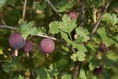 Στενός επάνω φρούτων του crispa uva Ribes στοκ φωτογραφία με δικαίωμα ελεύθερης χρήσης