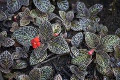 Στενός επάνω φυλλώματος cupreata Episcia Στοκ φωτογραφία με δικαίωμα ελεύθερης χρήσης