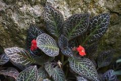 Στενός επάνω φυλλώματος cupreata Episcia Στοκ εικόνες με δικαίωμα ελεύθερης χρήσης