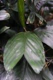 Στενός επάνω φύλλων από τα arecaceae augusti ernesti chamaedorea από το Μεξικό και το guetemala Στοκ Εικόνες