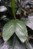 Στενός επάνω φύλλων από τα arecaceae augusti ernesti chamaedorea από το Μεξικό και το guetemala Στοκ Εικόνα