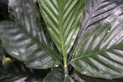 Στενός επάνω φύλλων από τα arecaceae augusti ernesti chamaedorea από το Μεξικό και το guetemala Στοκ Φωτογραφία