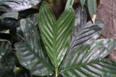 Στενός επάνω φύλλων από τα arecaceae augusti ernesti chamaedorea από το Μεξικό και το guetemala Στοκ Φωτογραφίες