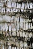 Στενός επάνω φλοιών φοινίκων καρύδων στοκ εικόνες με δικαίωμα ελεύθερης χρήσης
