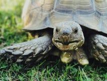 Στενός επάνω χελωνών της Pet Στοκ Εικόνα