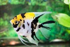 Στενός επάνω ψαριών ενυδρείων (Angelfish) Στοκ εικόνα με δικαίωμα ελεύθερης χρήσης