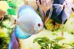 Στενός επάνω ψαριών ενυδρείων (Angelfish) Στοκ φωτογραφίες με δικαίωμα ελεύθερης χρήσης