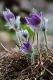 Στενός επάνω Anemones στον κήπο Στοκ Εικόνες