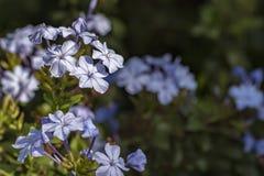 Στενός επάνω auriculata Plumbago - μικρή μπλε μακρο φωτογραφία λουλουδιών Στοκ φωτογραφία με δικαίωμα ελεύθερης χρήσης