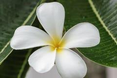 Στενός επάνω frangipani λουλουδιών Στοκ Εικόνες