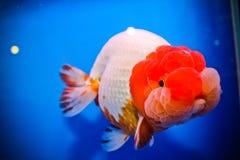 Στενός επάνω goldfish λιονταριών επικεφαλής Στοκ Εικόνα