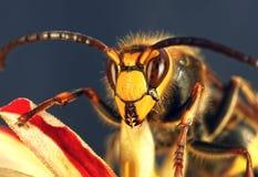 Στενός επάνω Hornet Στοκ Εικόνα