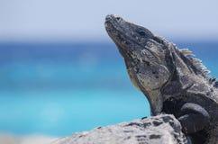 Στενός επάνω Iguana με Tulum oceanview στην πλάτη Στοκ φωτογραφία με δικαίωμα ελεύθερης χρήσης