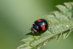 Στενός επάνω Ladybug Στοκ Εικόνα
