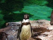 Στενός επάνω Penguin από το κεφάλι στο ζωολογικό κήπο Augsburger στη Γερμανία στοκ εικόνες με δικαίωμα ελεύθερης χρήσης