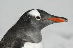 Στενός επάνω Penguin Gentoo Στοκ Εικόνα