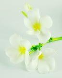 Στενός επάνω Plumeria που απομονώνεται στο άσπρο υπόβαθρο Στοκ Εικόνες
