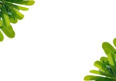 Στενός επάνω Plumeria φύλλων που απομονώνεται στο άσπρο υπόβαθρο Στοκ φωτογραφίες με δικαίωμα ελεύθερης χρήσης