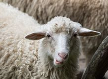 Στενός επάνω Sheeps Στοκ εικόνες με δικαίωμα ελεύθερης χρήσης