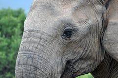 στενός ελέφαντας επάνω Στοκ Εικόνες