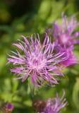 στενός κάρδος λουλουδιών επάνω Στοκ Εικόνα