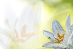 στενός κρίνος λουλουδ& στοκ φωτογραφίες