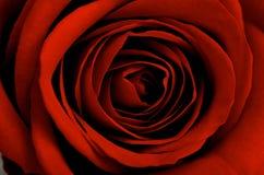 στενός κόκκινος αυξήθηκ&epsi Στοκ εικόνες με δικαίωμα ελεύθερης χρήσης