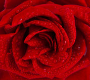 στενός κόκκινος αυξήθηκ&epsi στοκ φωτογραφίες με δικαίωμα ελεύθερης χρήσης