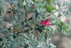 Στενός-με φύλλα Bugloss Στοκ Εικόνες