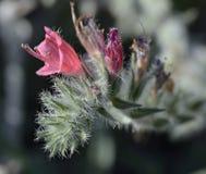 Στενός-με φύλλα Bugloss Στοκ φωτογραφία με δικαίωμα ελεύθερης χρήσης