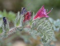 Στενός-με φύλλα Bugloss Στοκ Φωτογραφία