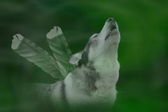 στενός ουρλιάζοντας επάνω το λύκο Στοκ Εικόνα