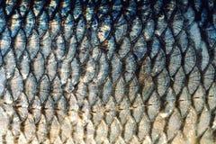 Στενός ο επάνω υποβάθρου κλιμάκων ψαριών Χρυσά και ασημένια χρώματα Στοκ εικόνα με δικαίωμα ελεύθερης χρήσης