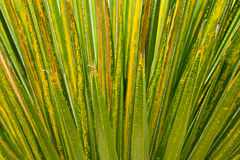 στενός πράσινος φοίνικας &p Στοκ Φωτογραφίες