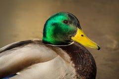 στενός πρασινολαίμης επάν& στοκ εικόνες με δικαίωμα ελεύθερης χρήσης