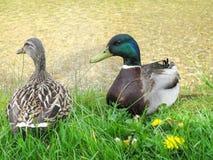 στενός πρασινολαίμης επάν& Στοκ φωτογραφίες με δικαίωμα ελεύθερης χρήσης