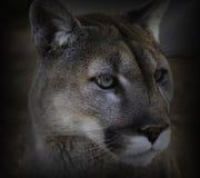 στενός cougar επάνω στοκ εικόνα