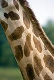 στενός giraffe κάλυψης λαιμός &epsilon Στοκ Φωτογραφίες