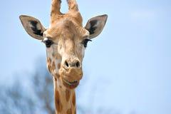στενός giraffe ψηλός επάνω Στοκ Φωτογραφίες